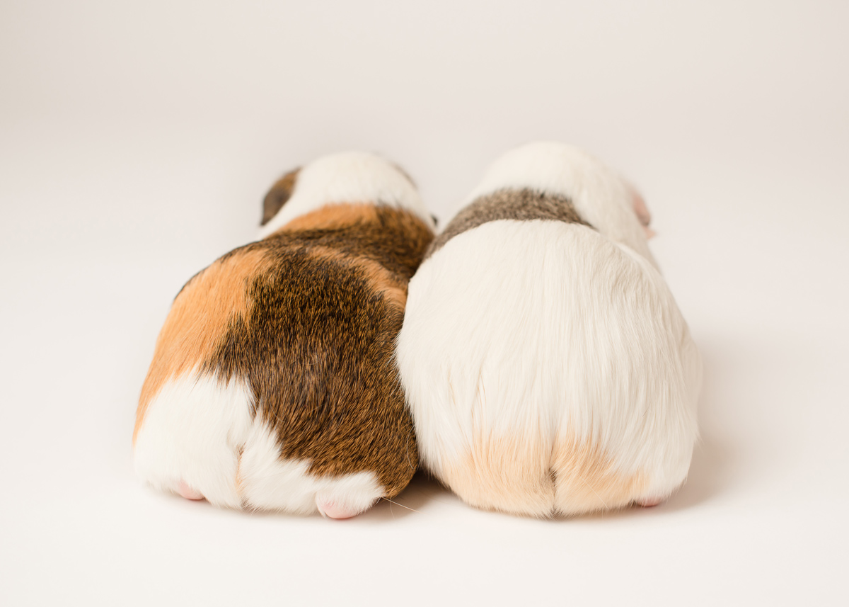 Cute Guinea Pig Bums needing privacy