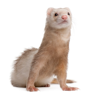 Ferret cage accessories and cozies