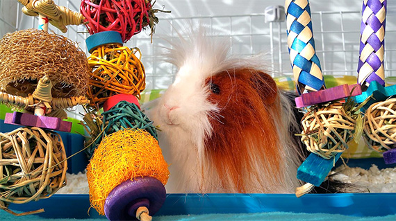 cool toy combo of many guinea pig toys